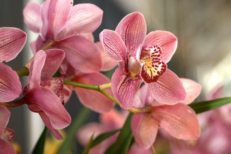 Fiori di orchidea Cymbidium