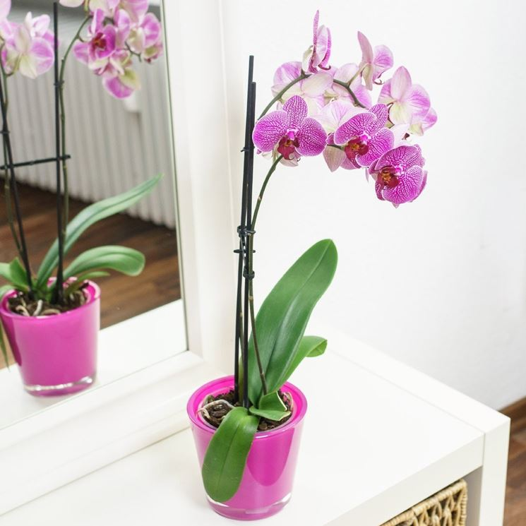 Orchidea in casa