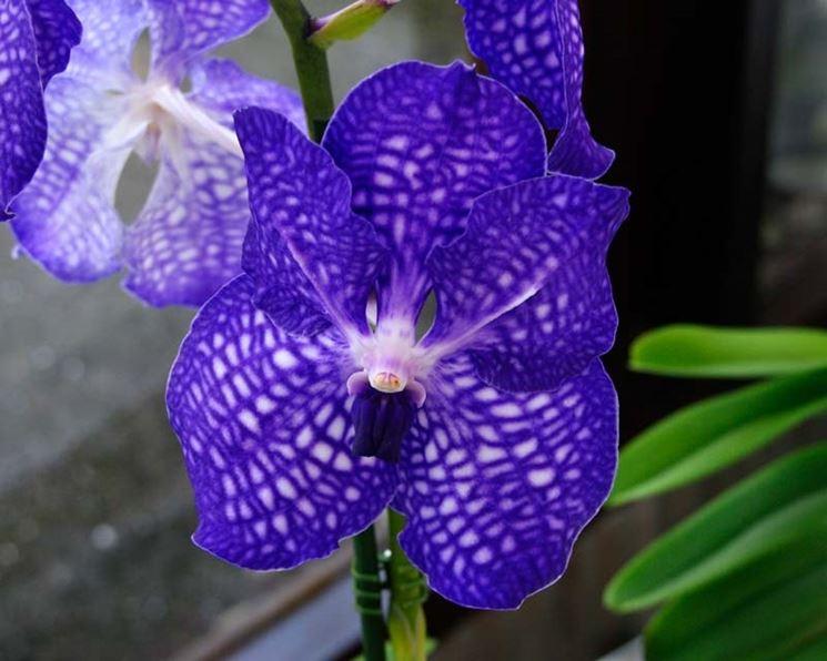 Le Orchidee Vanda in fiore