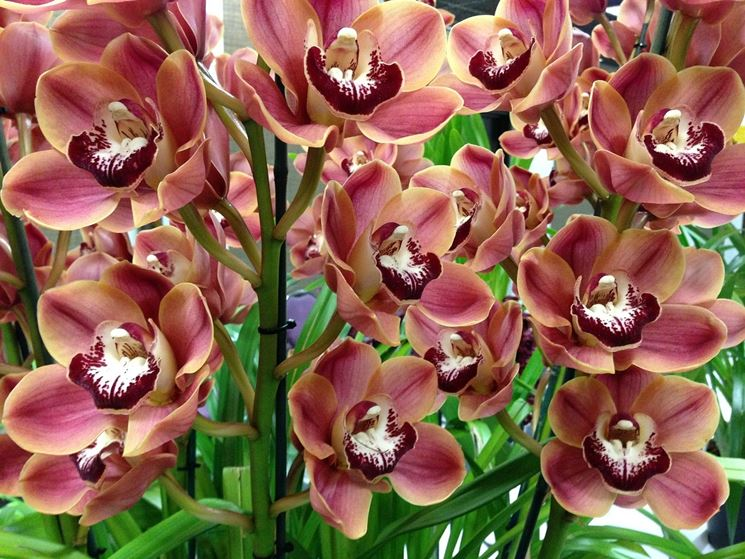 Le orchidee cura orchidea come prendersi cura delle orchidee - Orchidea da esterno cymbidium ...