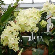 Pianta di orchidea fiorita