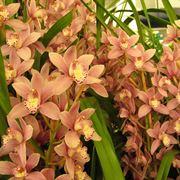 Le Orchidee Cymbidium
