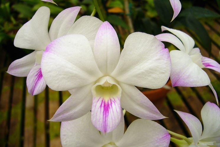 Piante orchidee dendrobium