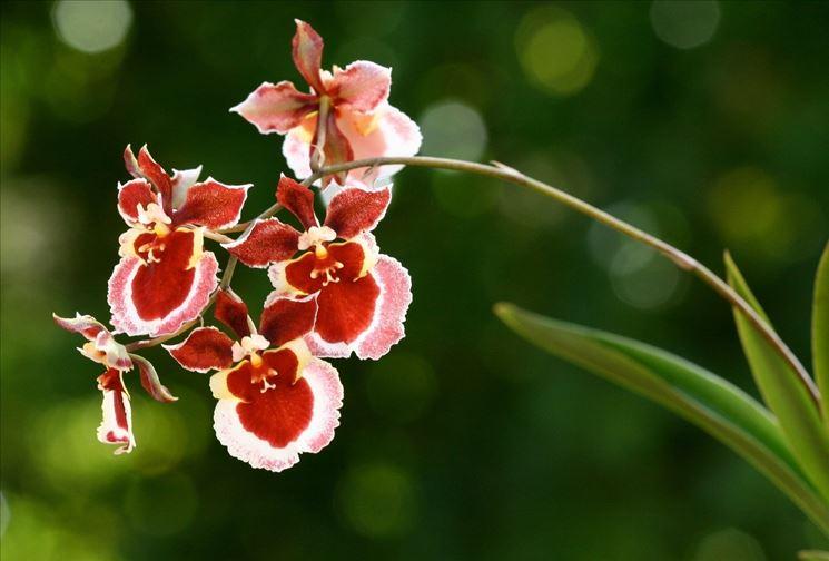 Orchidee oncidium cura orchidea coltivare orchidea for Orchidee in casa
