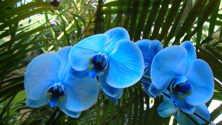 Orchidee Phalaenopsis blu