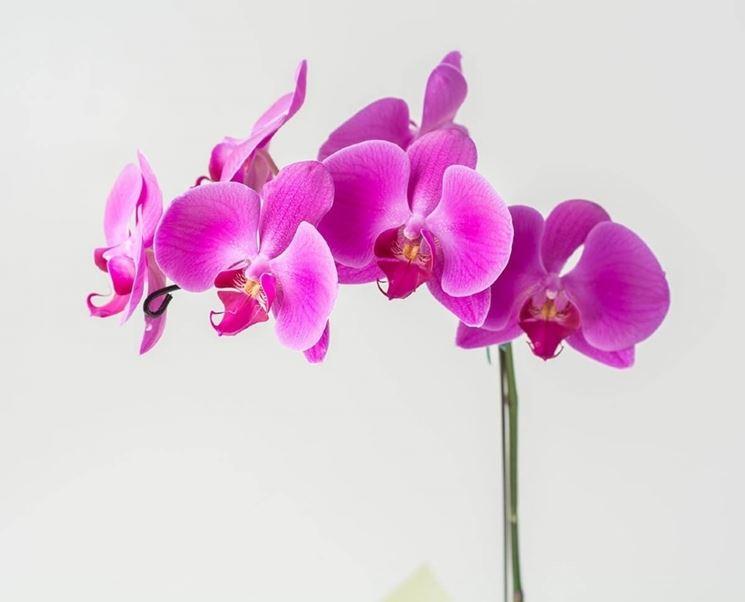 Orchidee Phalaenopsis rosa