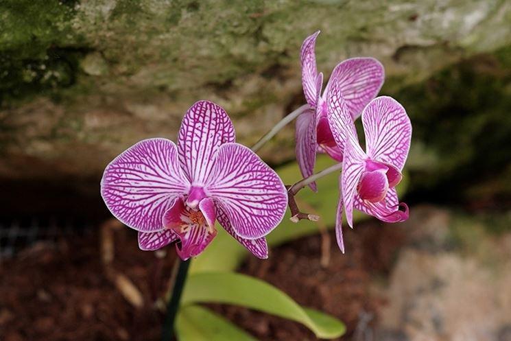 Orchidee fiore
