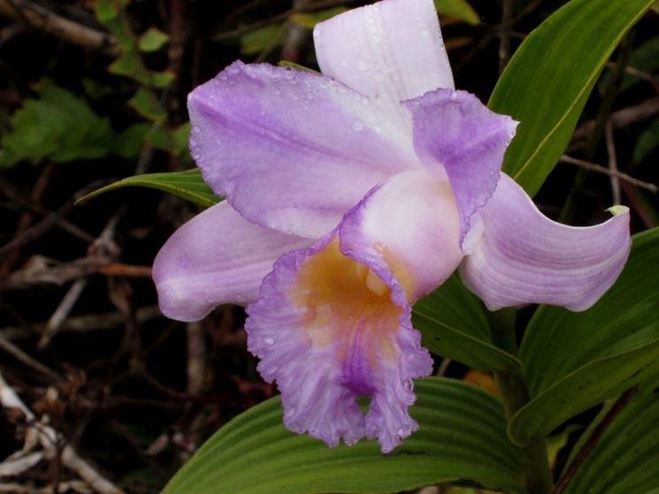 Fiore orchidee