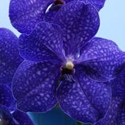 Orchidee Vanda blu