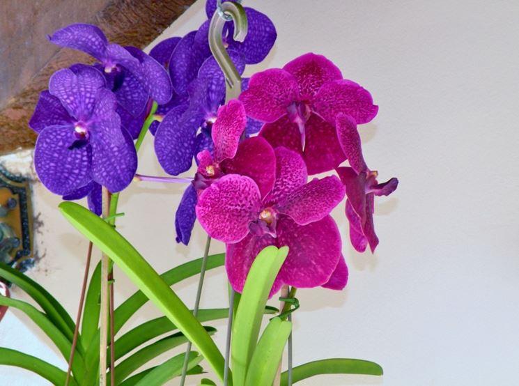 Orchidee Vanda blu e rosa