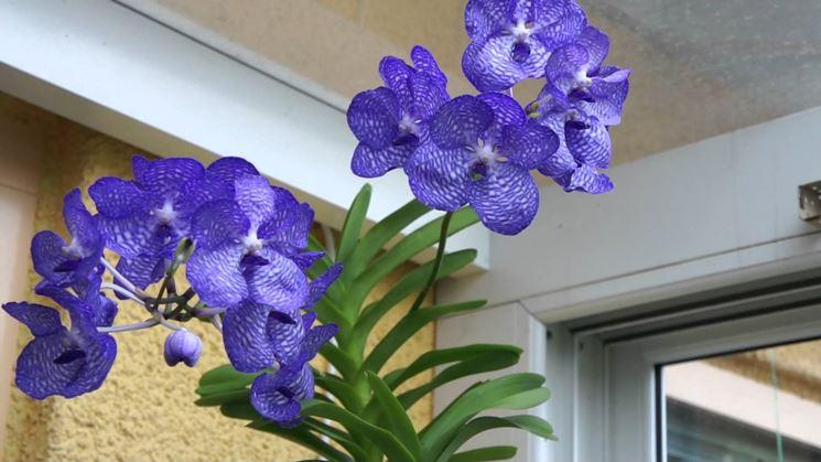 Fiori orchidee vanda