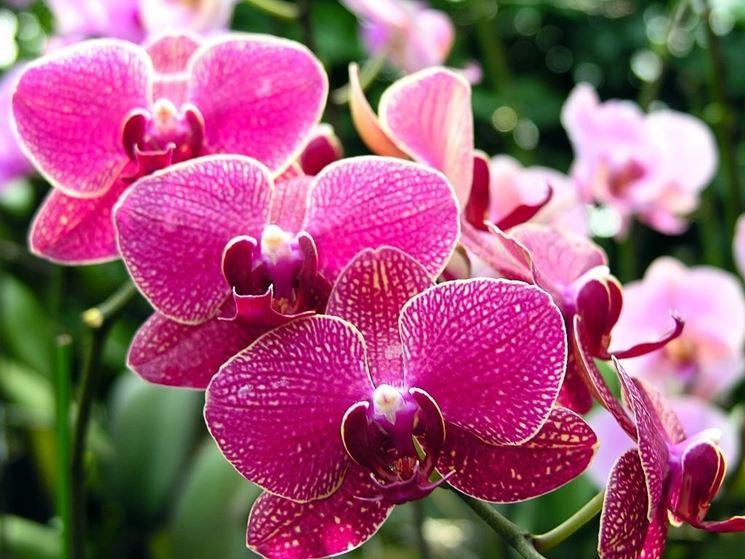 Esemplare orchidea