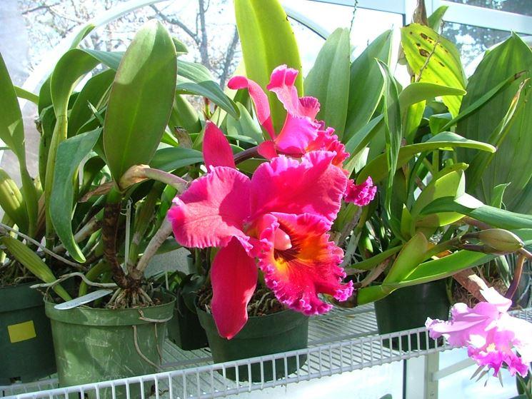 Coltivazione orchidee in serra