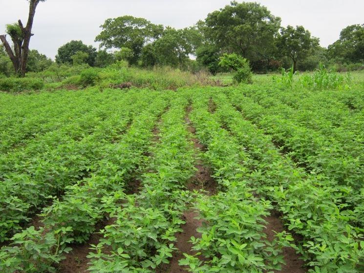Coltivazione arachidi