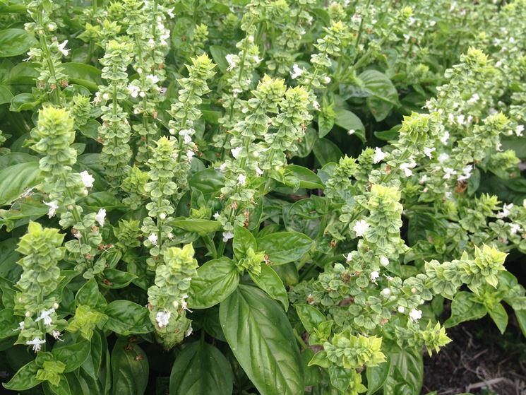 Sommità fiorite di basilico
