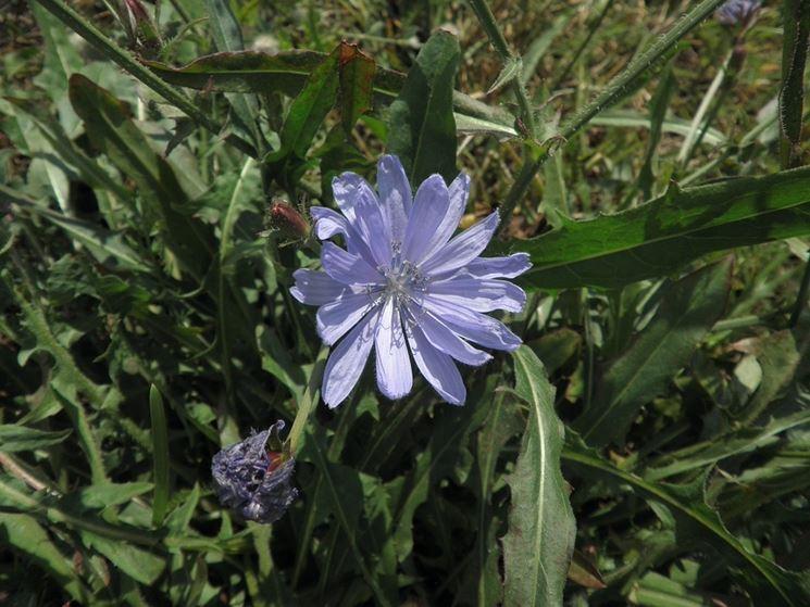 Fiore di cicoria
