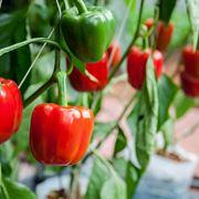 Coltivazione peperoni vaso