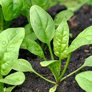 Piante spinaci