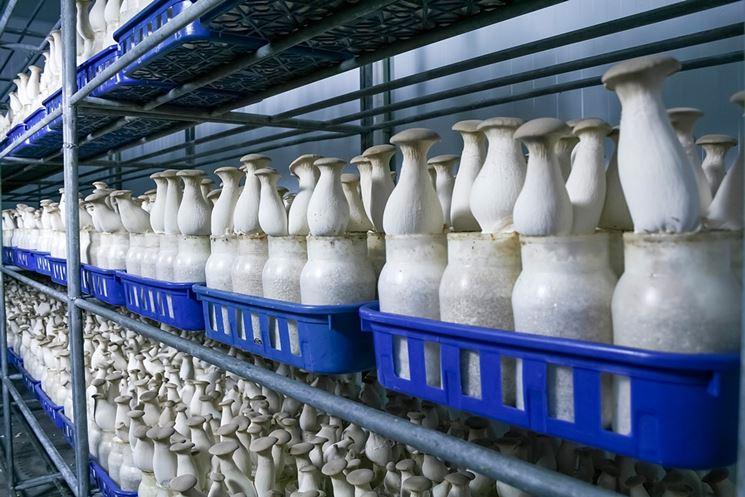 Coltivazione di funghi in substrato