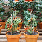 Vasetti di pomodori