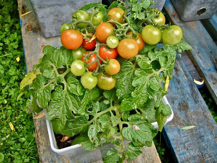 Come coltivare pomodori orto sul balcone coltivazione for Coltivare sul balcone