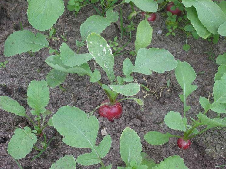 Ravanelli coltivati nell'orto