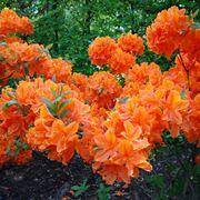 Varietà ibrida di azalea