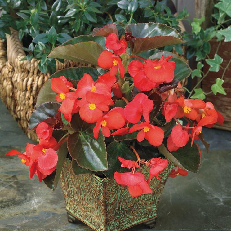 Pianta di begonia rossa
