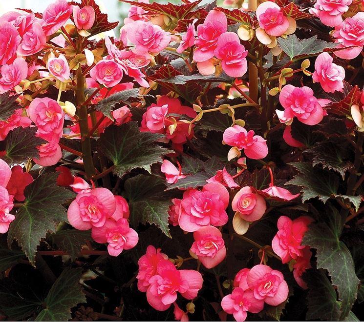 Pianta di begonie rosa