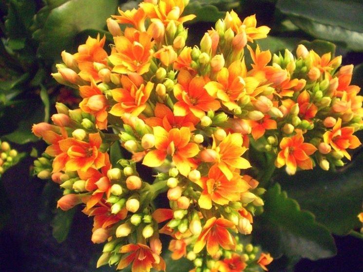 Calancola piante appartamento fiori pianta appartamento for Kalanchoe cura