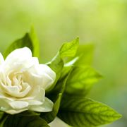Gardenia fiorita