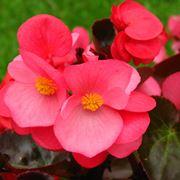 Fiori rosa di Begonia
