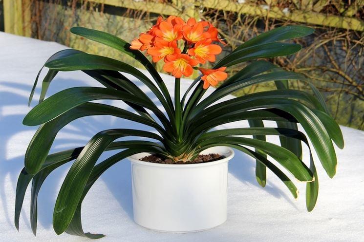 Piante appartamento piante appartamento for Pianta ornamentale con fiori a grappolo profumatissimi