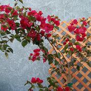 Bouganvillea balcone
