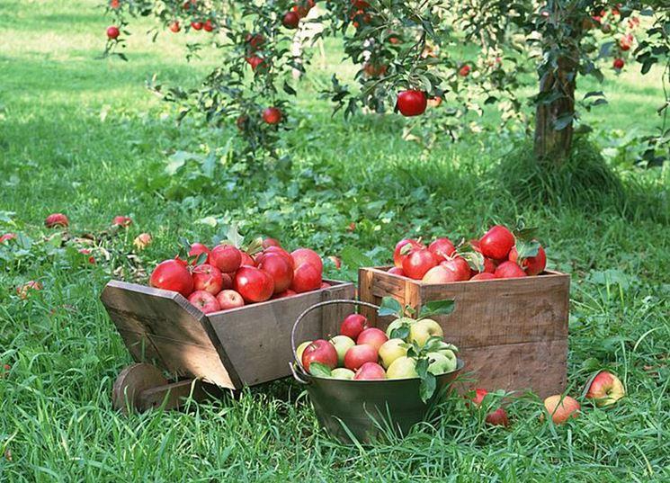 Alberi da frutto piante da frutto alberi che fanno frutti for Alberi da frutto in vaso
