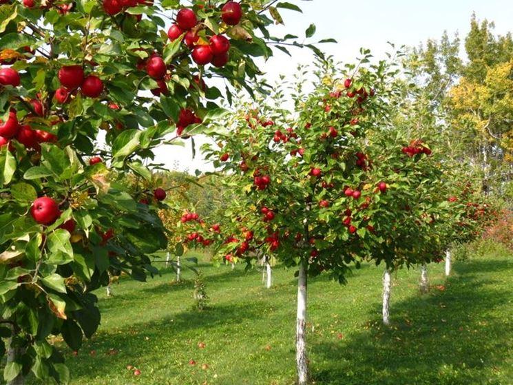 Alberi da frutto piante da frutto alberi che fanno frutti for Piccoli alberi da frutto