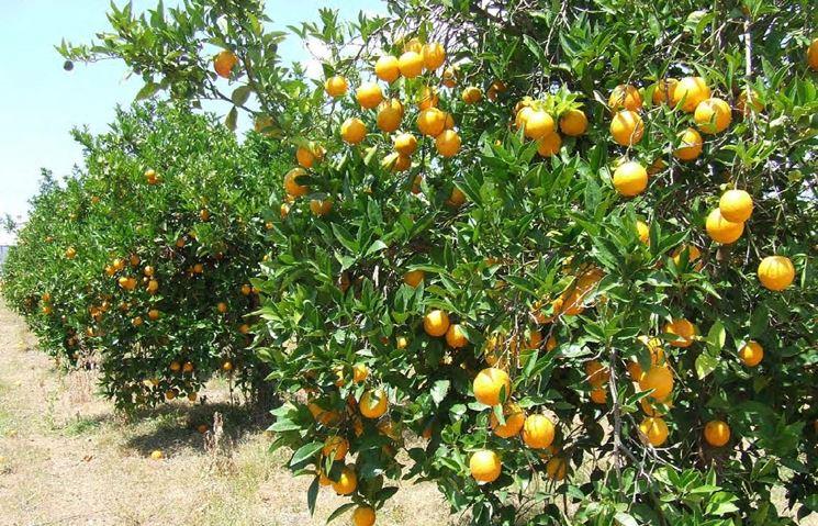 Produzione agrumi