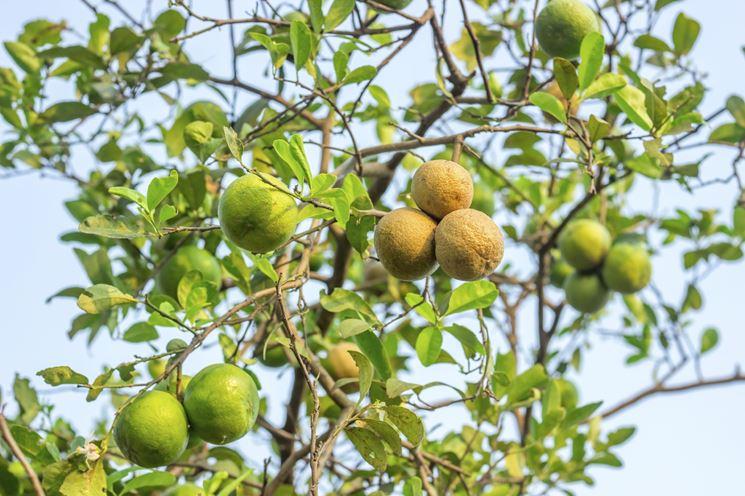 Limoni verdi