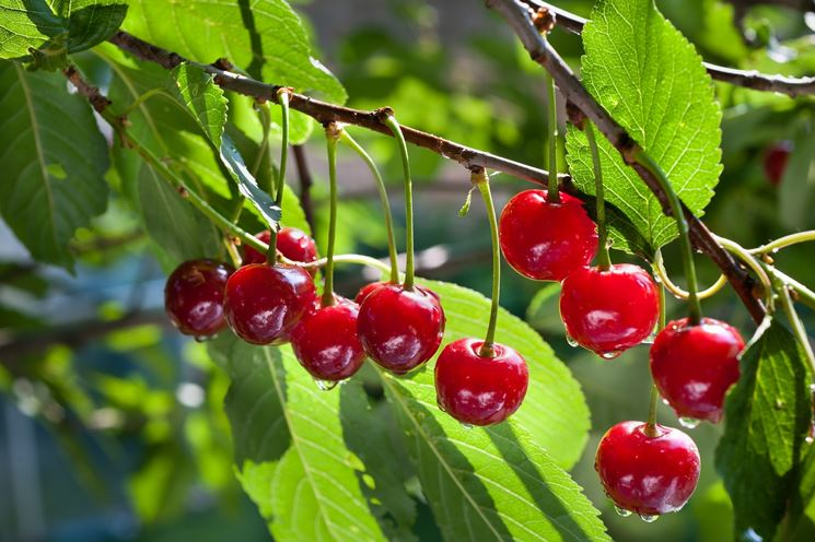 coltivazione ciliegio