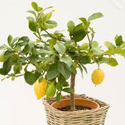 Un alberello di limoni in vaso