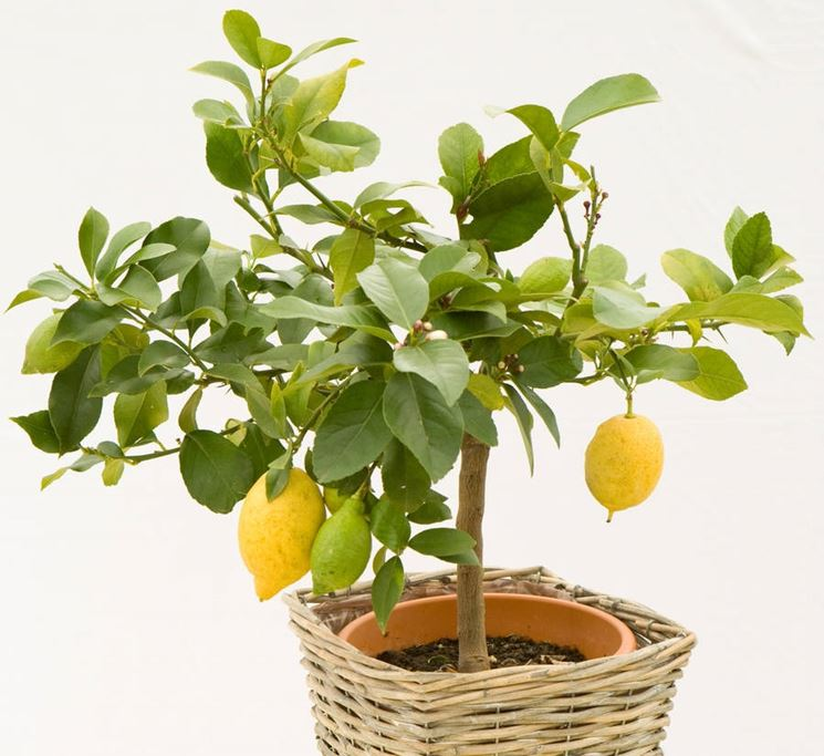 Concime per limoni piante da frutto coltivazione limone for Limoni in vaso