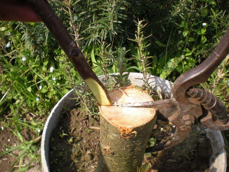 Innesto agrumi periodo piante da frutto quando for Quando piantare alberi da frutto