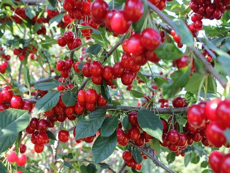 Il frutto del ciliegio dopo l'innesto