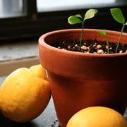 Terriccio per agrumi in vaso