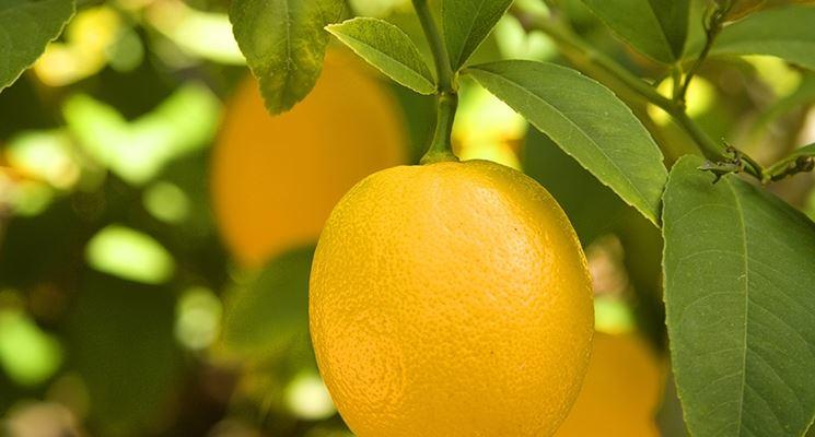 Terriccio per agrumi piante da frutto terriccio per for Coltivare limoni
