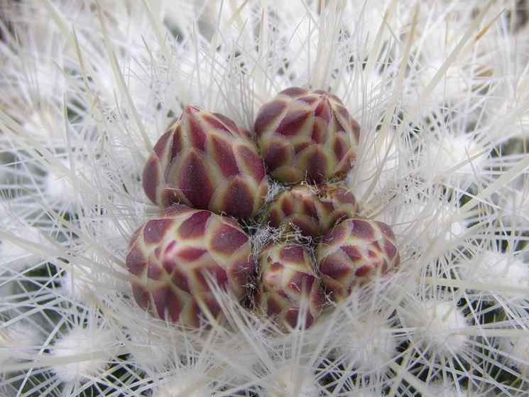 Particolare di Thelocactus Macdowellii