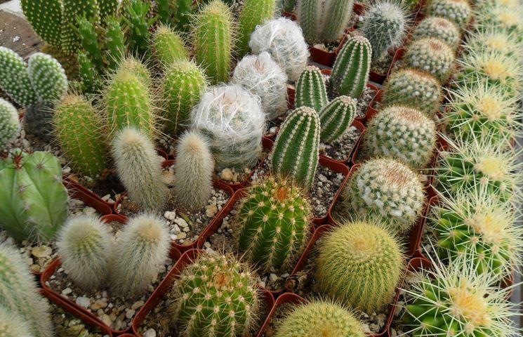 cactus varietà