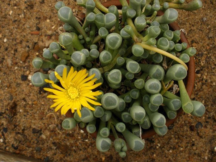 Fenestraria fiore