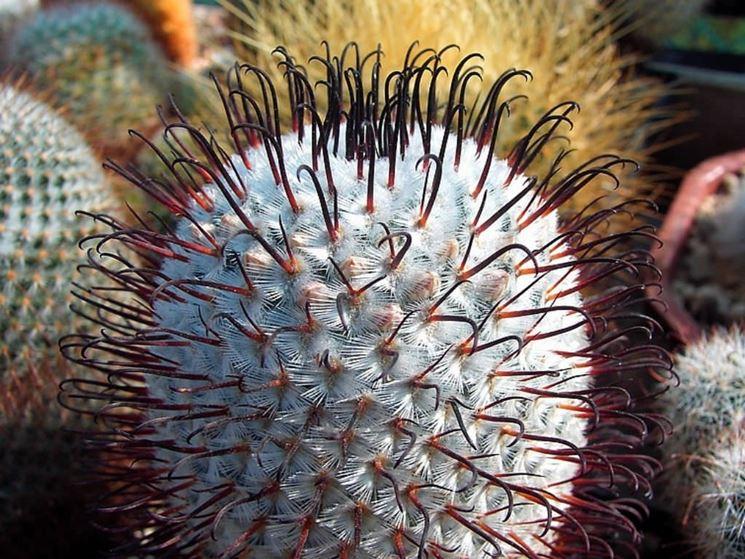 Mammillaria spine uncinate