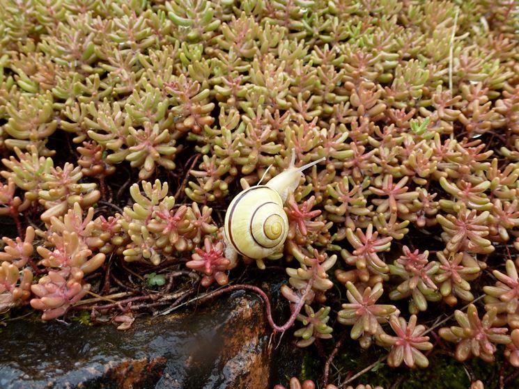 Chiocciola su succulenta